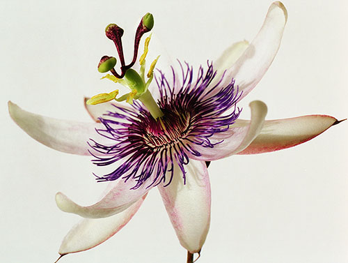 Photograph of a passionflower