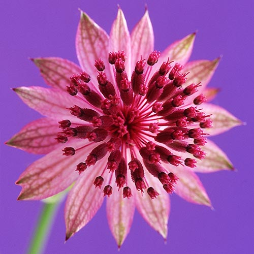 Pink astrantia