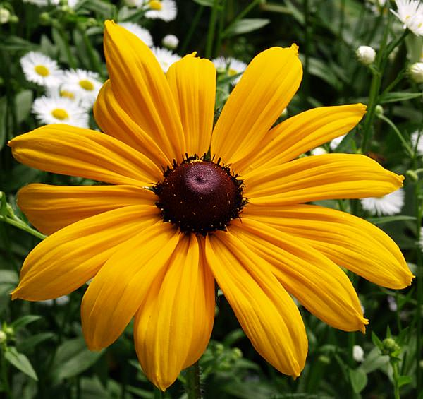 yellow rudbekia at the Manor, Hemingford Grey