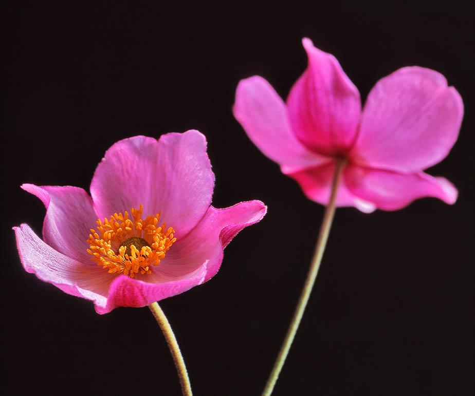 Japanese anemone 'September Charm'