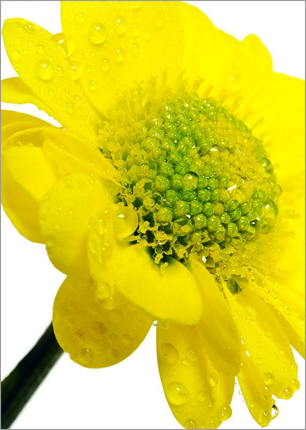 yellow chrysanthemum with water drops