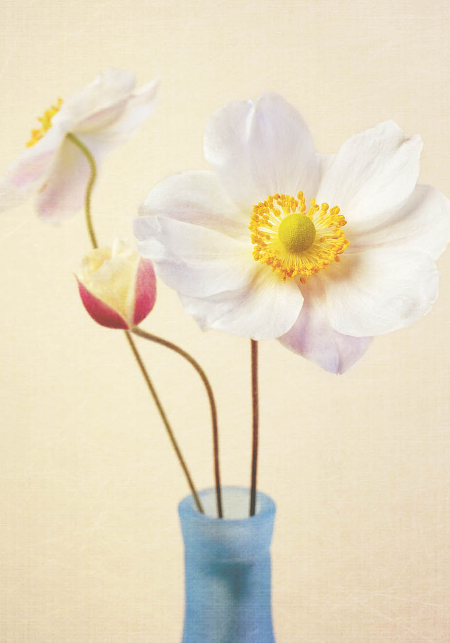 Two white Japanese anemones in a bottle.