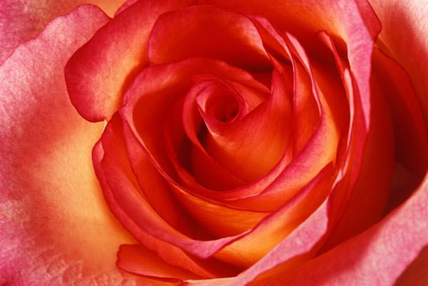 Hot orange rose