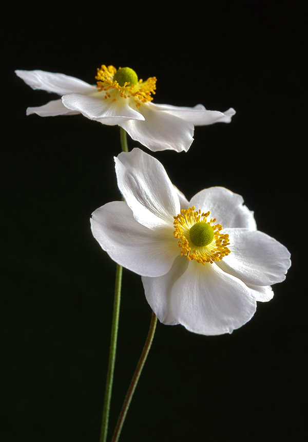 White Japanese anemones against a dark background.