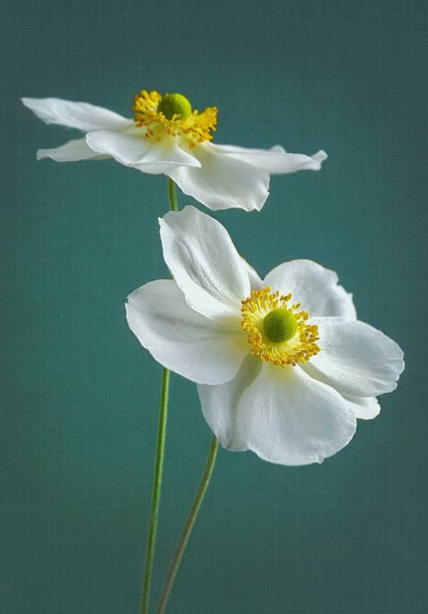 White Japanese anemones against teal background