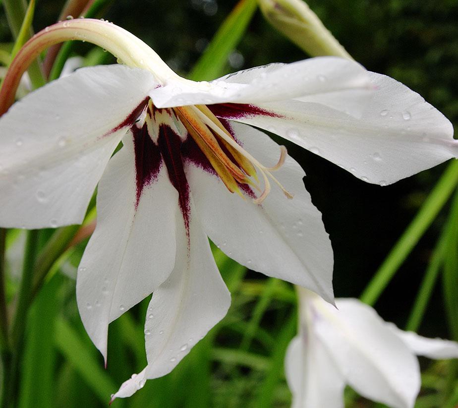 Acidanthera murielae (aka Gladiolus callianthus)