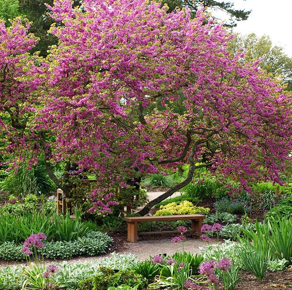 Cercis siliquastrum (Judas tree or redbud)
