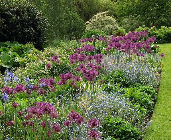 Alliums and forget-me-nots in a border