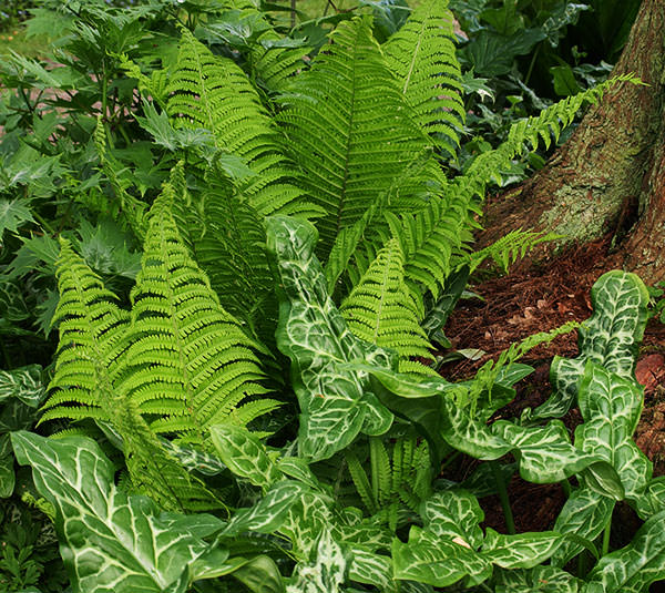 Arum italicum 'Pictum' echoes the shape of the fern but has a contrasting texture and markings.