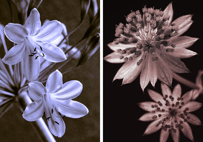Left: Agapanthus Right: Astrantia