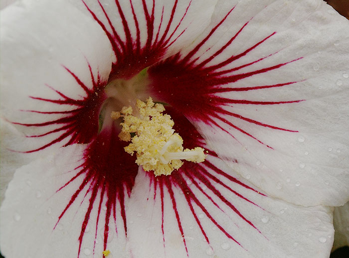 White Hibiscus syriacus with red markings