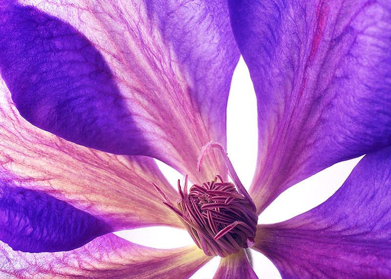 Translucent purple clematis