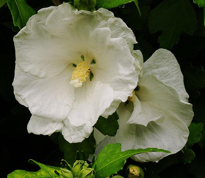 white Hibiscus syriacus