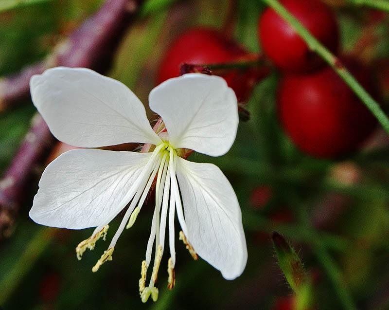 Gaura linderheimeri flower