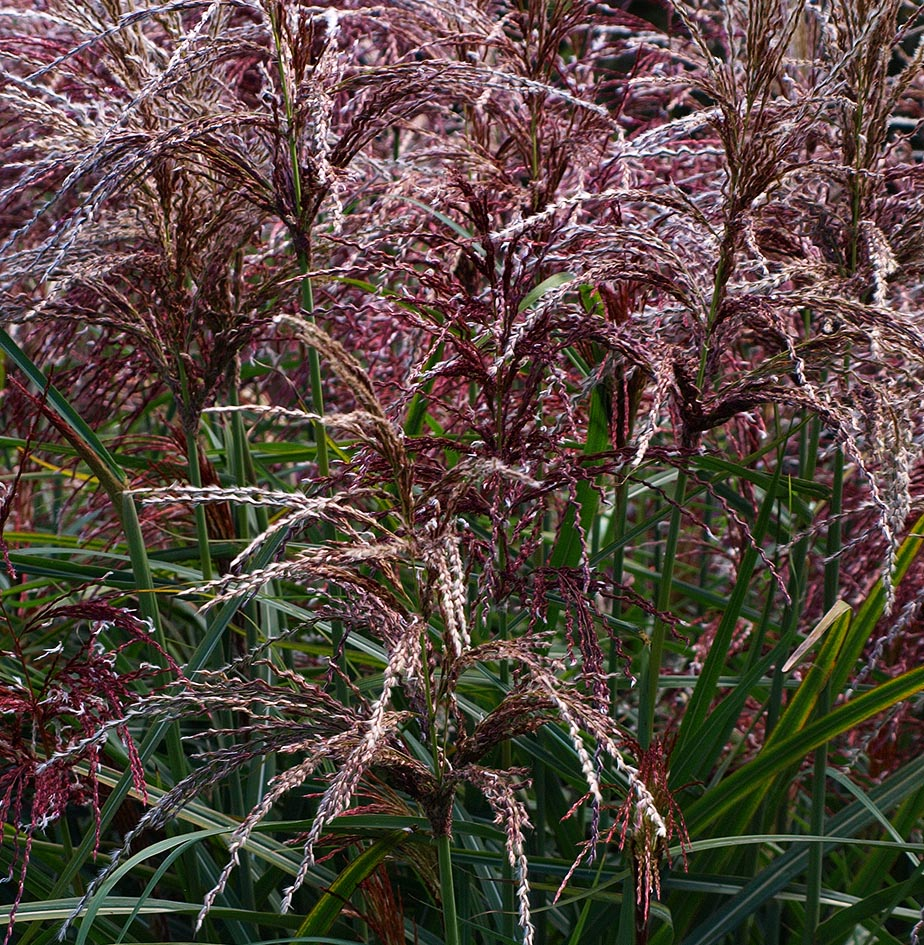 red-flowered miscanthus grass