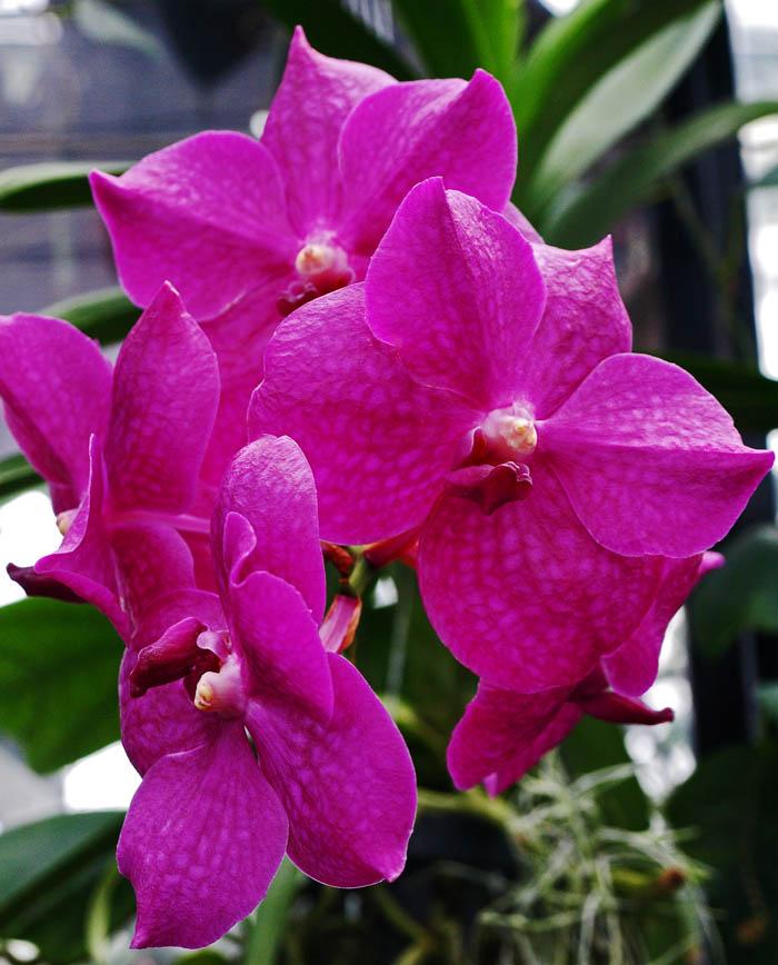 Magenta Vanda Orchid