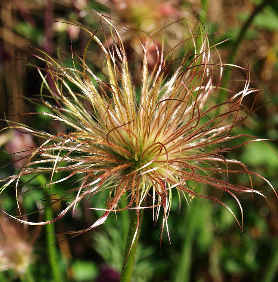 Pasque flower (Pulsatilla) seed-head