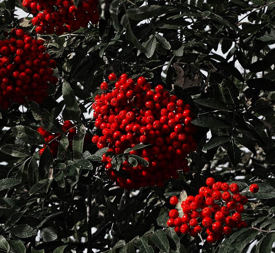 Red rowan tree berries