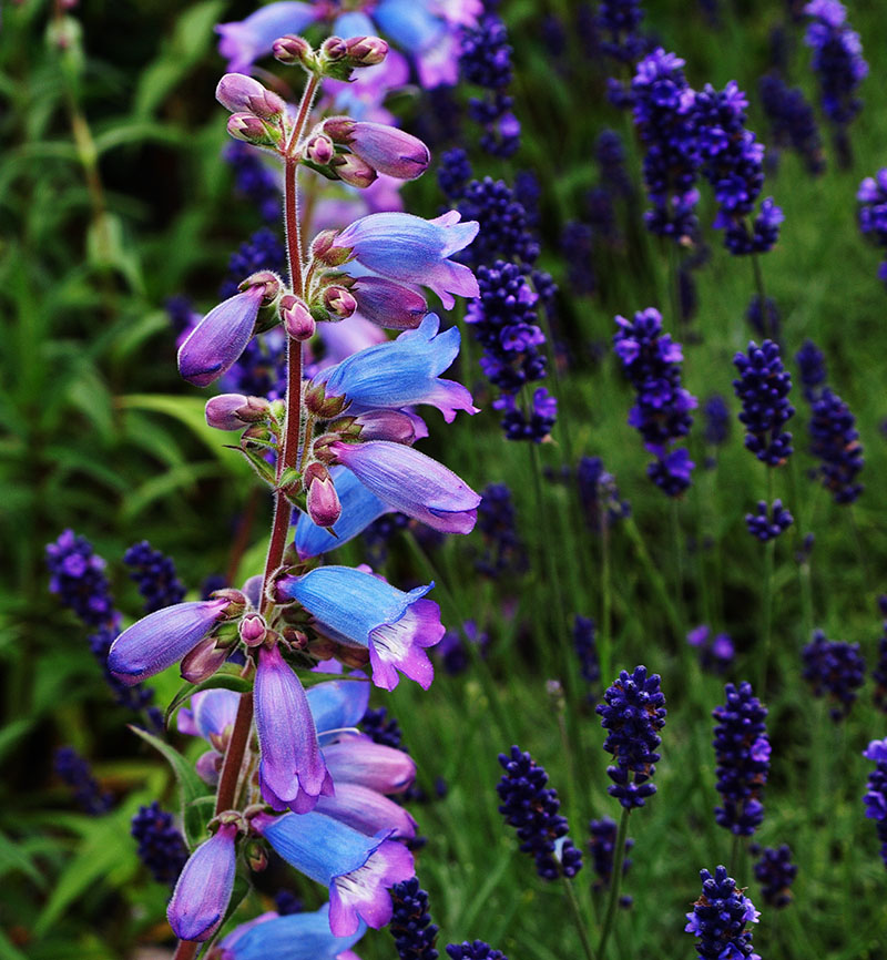 Blue and a lilac-y pink penstemon