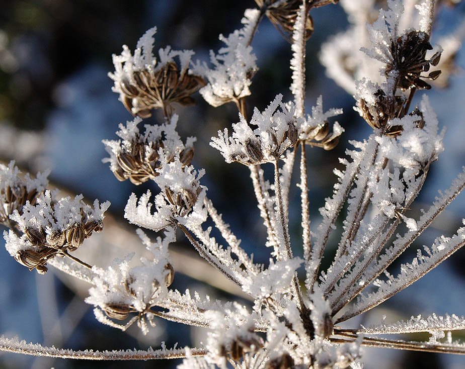 Frosted fennel seed-head