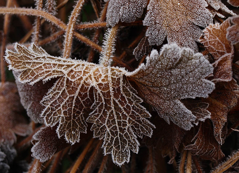 A frosted geranium leaf.