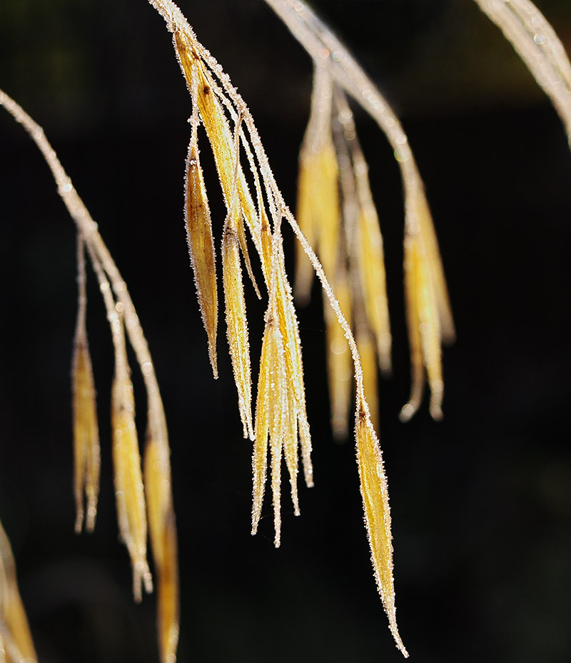 Frosted heads of Stipa gigantea