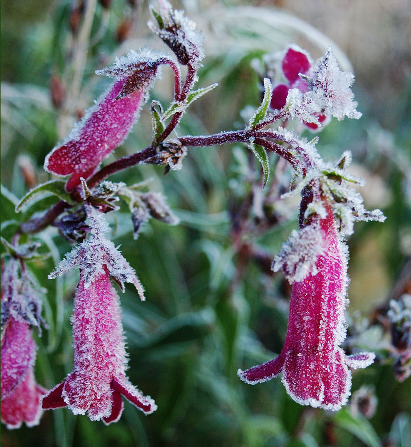 Frost-covered penstemon flowers.
