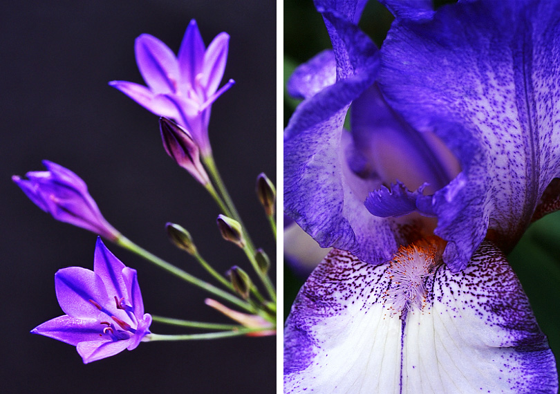 Left: Brodiaea Right: Iris