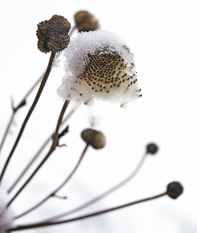 Anemone seed-head capped with snow.