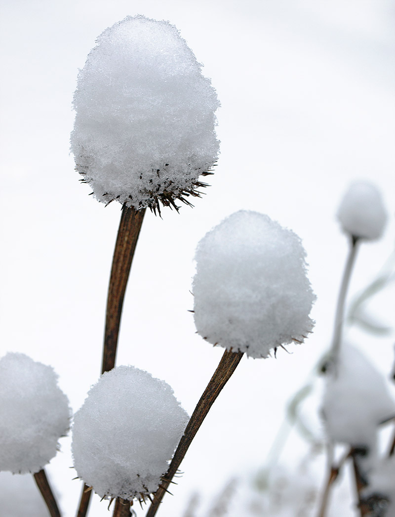 Snow-covered Echinacea seed-heads.