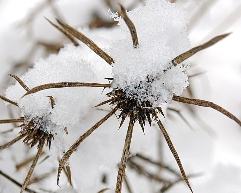 Snow-covered Eryngium seed-heads