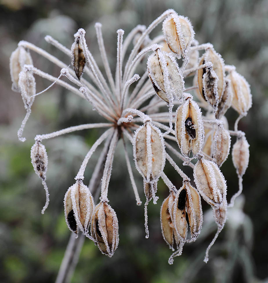 Frosted Agapanthus seed-head