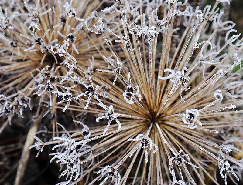 Frosted allium seed-heads