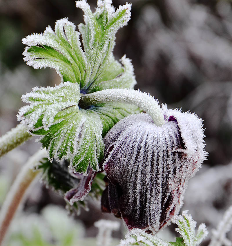 Anemone coronaria, covered in frost