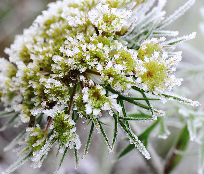Wild carrot (Daucus carota) covered with frost