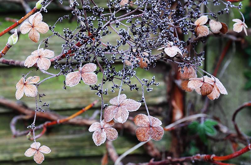 Hydrangea petiolaris with frost.