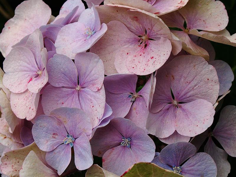 Pastel-coloured 'mophead' hydrangea.