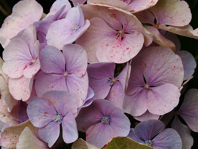 Pastel-coloured 'mophead' hydrangea.