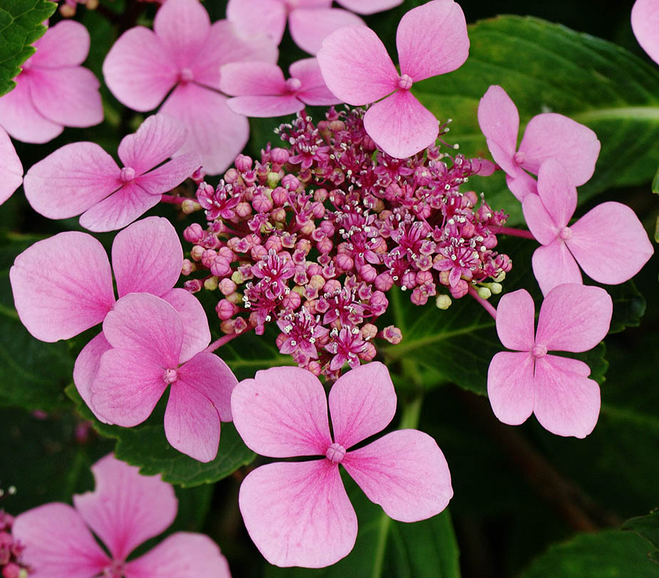 A pink 'lacecap' hydrangea.