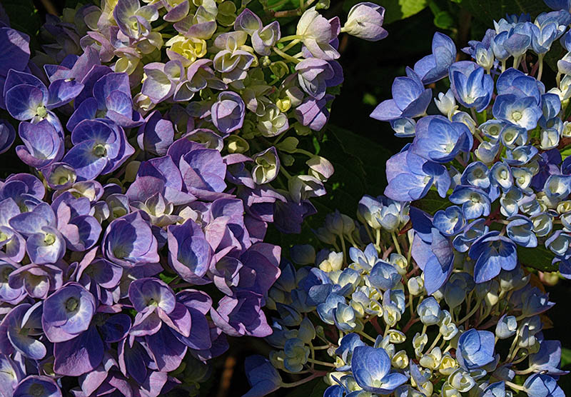 Purple and blue hydrangeas.