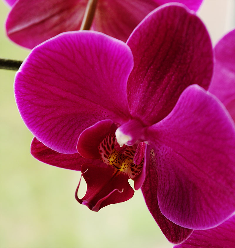 Macro photo of a dark-magenta moth orchid