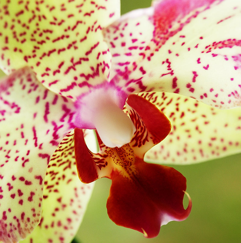 Macro photo of a pale green orchid with pink spots.