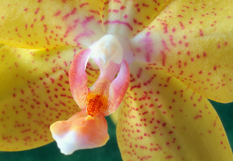 Macro photo of a yellow moth orchid