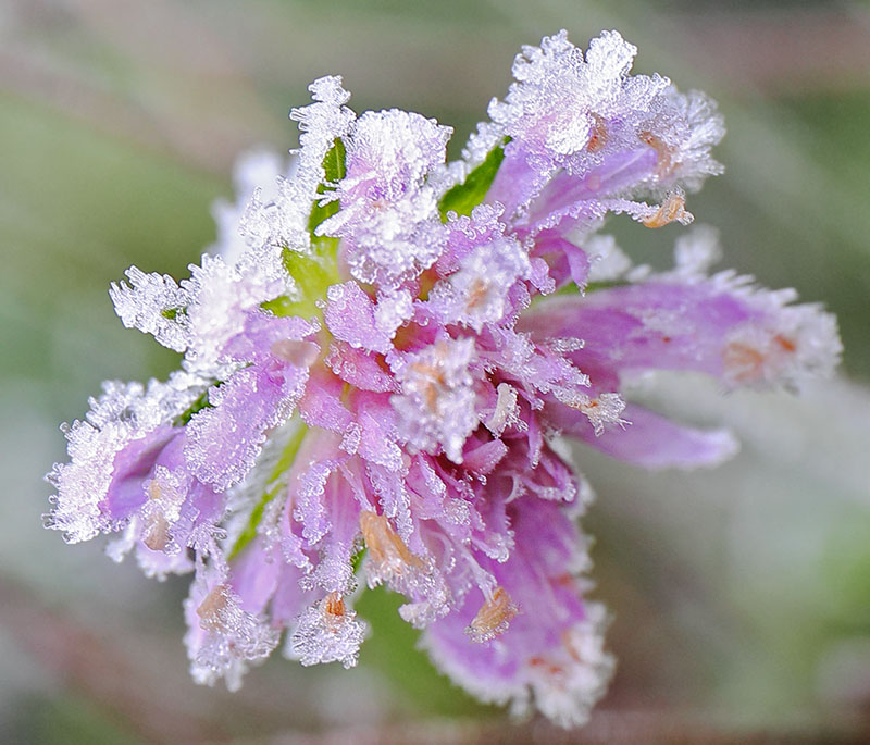 Frosted pink Scabious