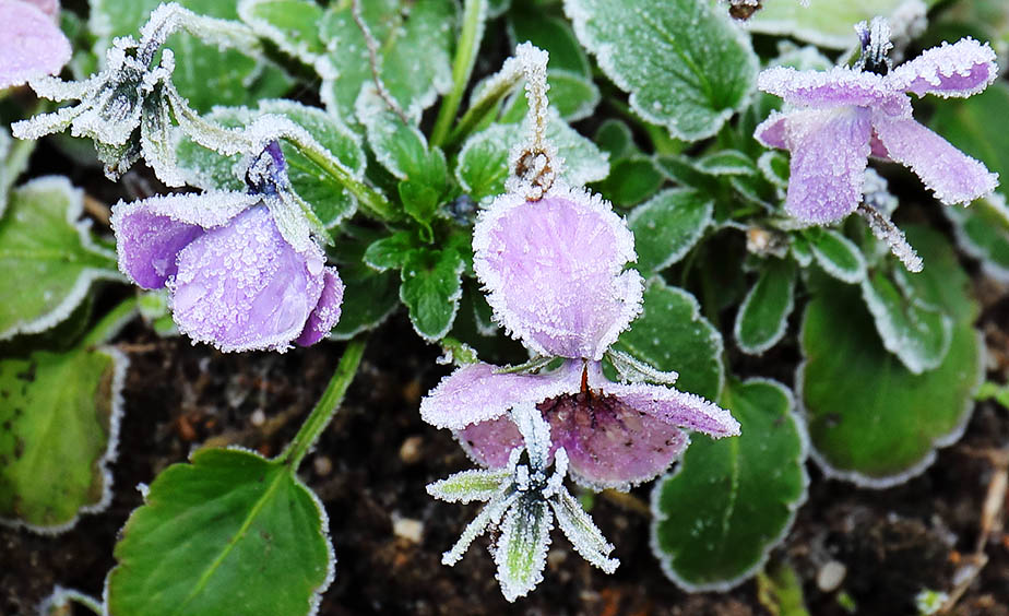 Frosted violets