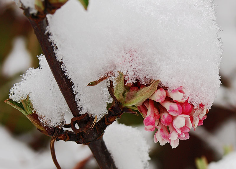 Snow-covered Viburnum bodnantense flower.