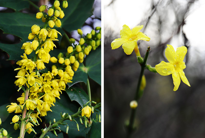 Mahonia (left) and winter jasmine (right).