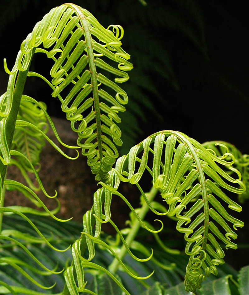 Fern fronds with curled tips.