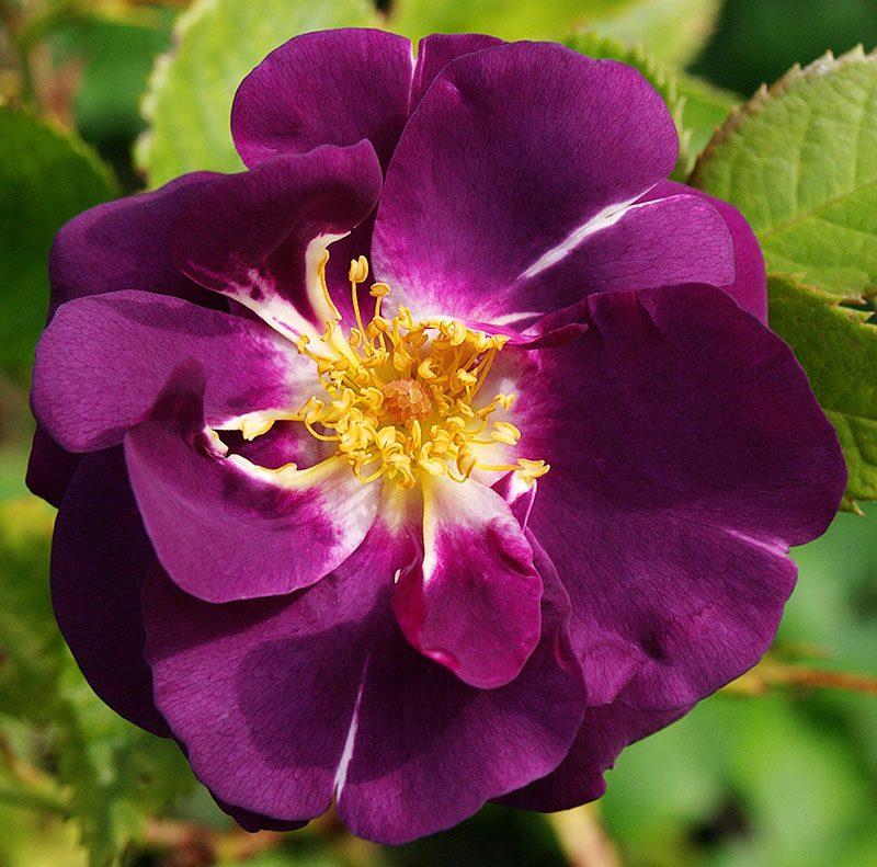 Rose 'Rhapsody in Blue'
