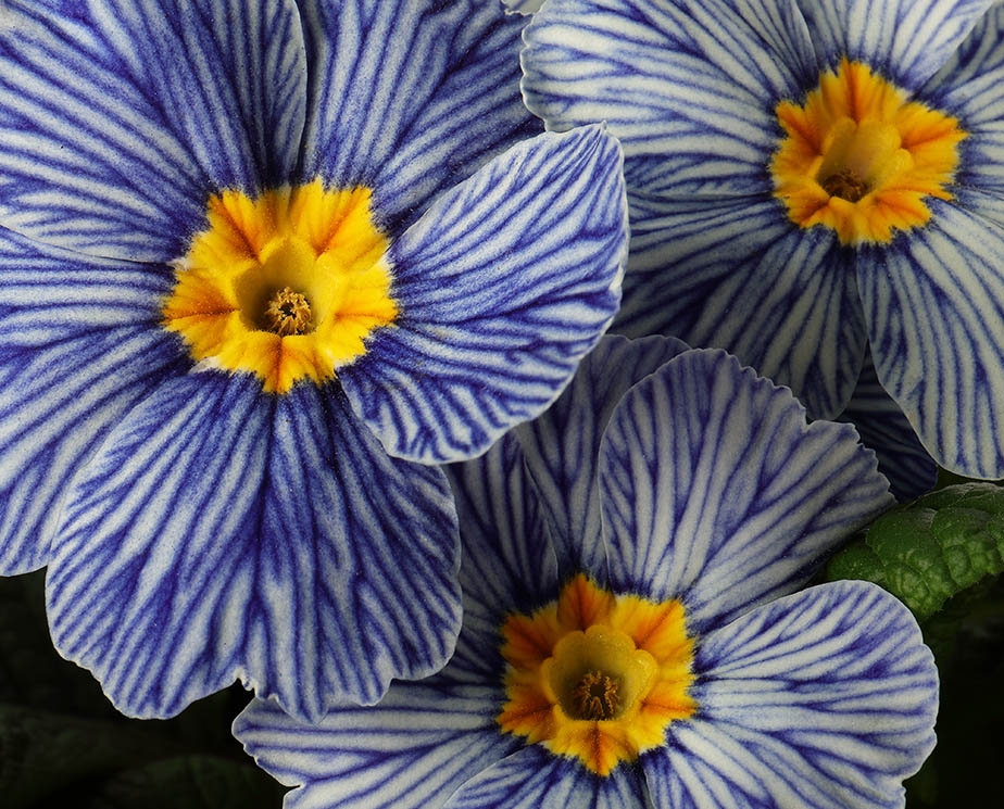 Blue-veined flowers of primrose 'Zebra Blue'.